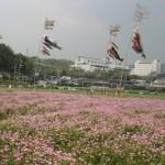 桜井の里 レンゲ畑  4月19日(土)より開園