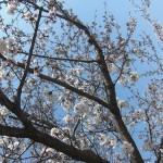 山崎 桜の名所 大山崎町・島本町