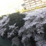 2014年4月 今週末は山崎の桜が見ごろです。各種桜イベントについて